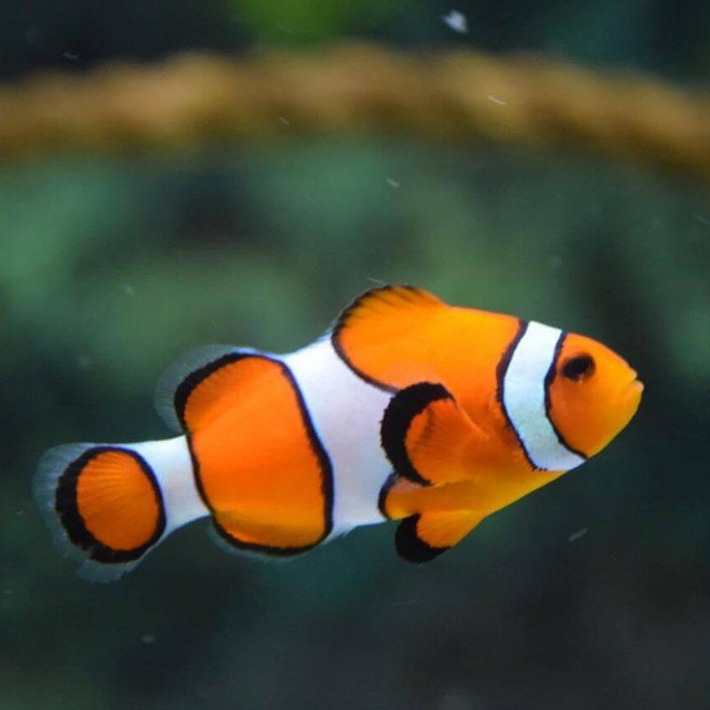 animal-clown-fish-fish-128756 (1)